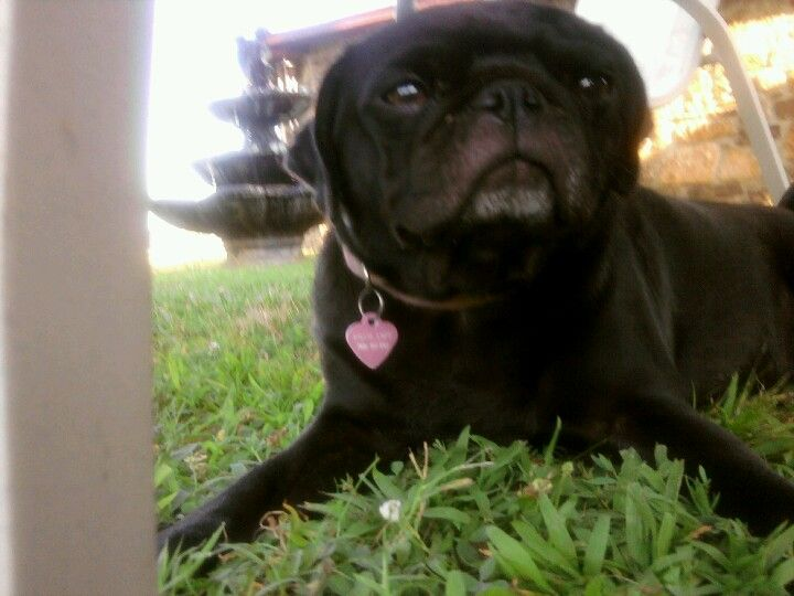 The cutest little pug ever Roqcy Marie