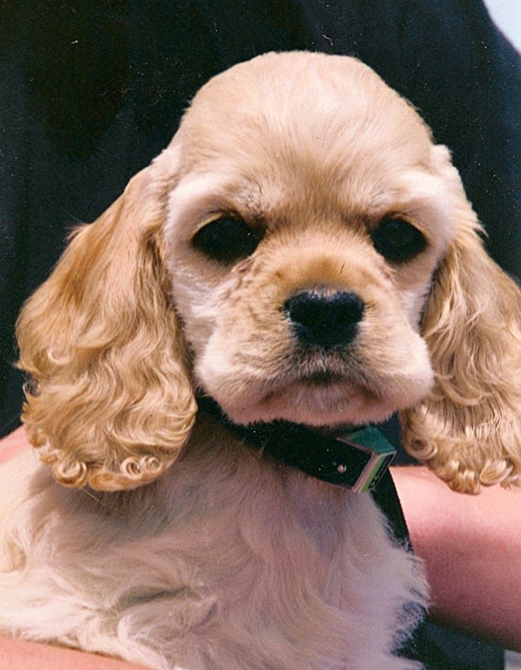Pin By Andrea Bryant On Zo Lief Dogs Cocker Spaniel Dog English Cocker Spaniel