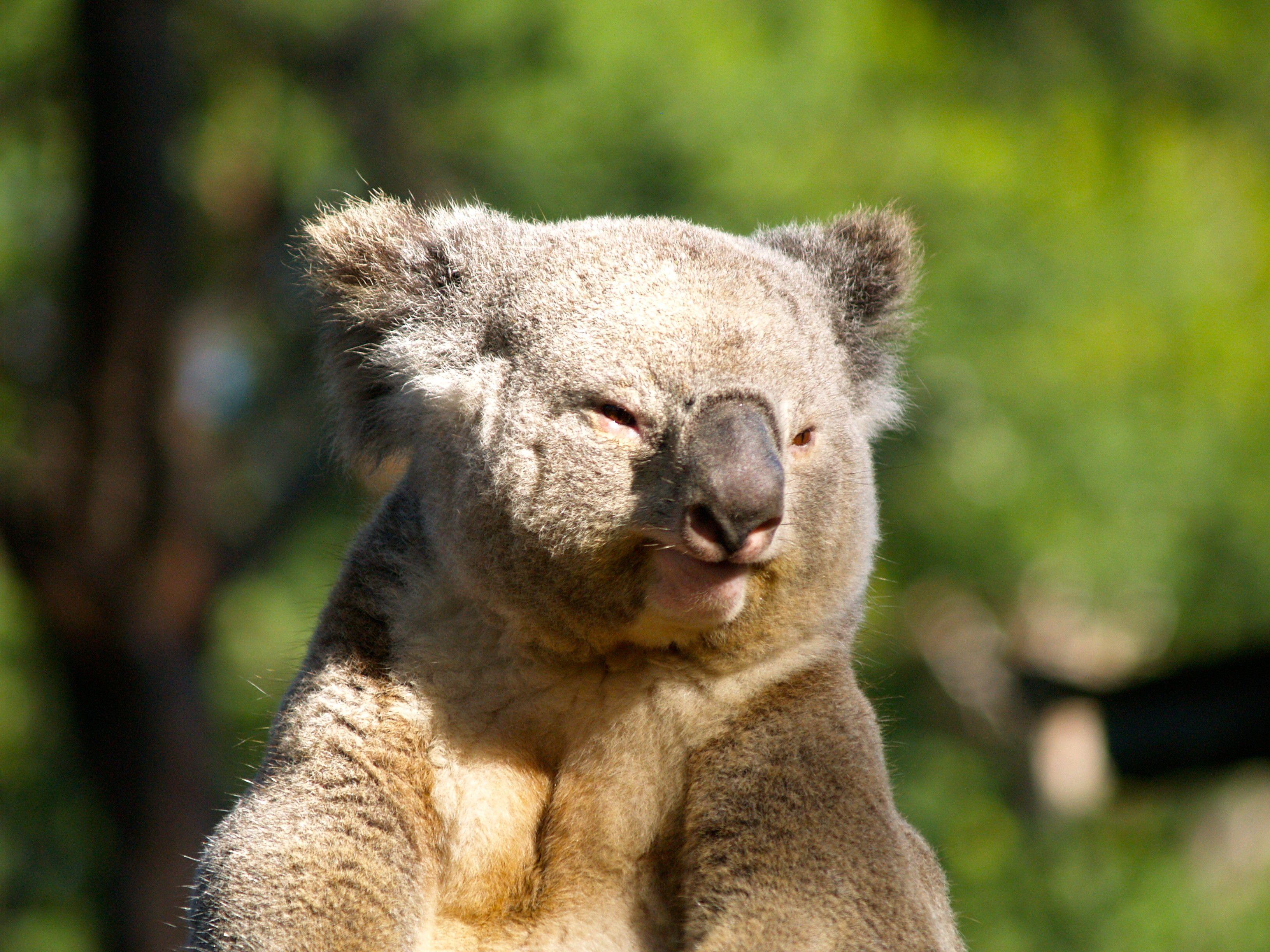 Днем рождения, коала картинки приколы