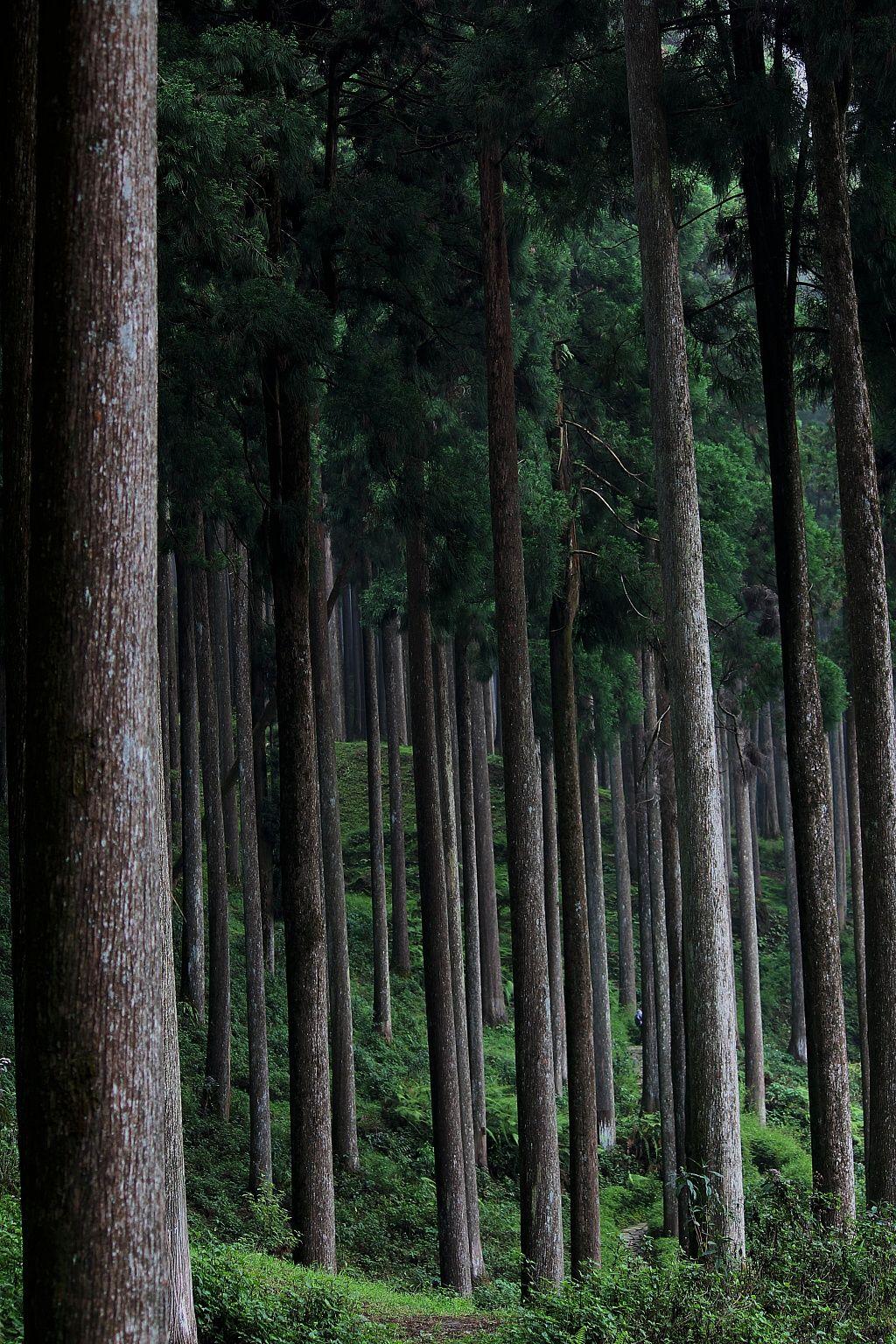 pine tree forest darjeeling