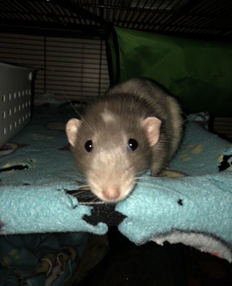 Missing My Benny Rats Animals Cuteanimals Rip Cute Animals Animals Rats