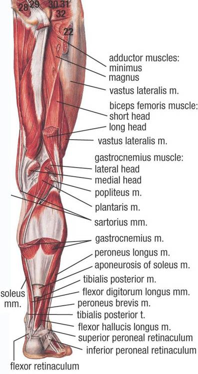 Picture | massage allways | Anatomy, Muscle, Medical anatomy
