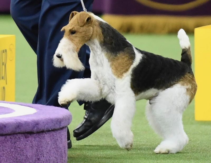 King The Wire Fox Terrier Wins Westminster Kennel Club Dog Show 1