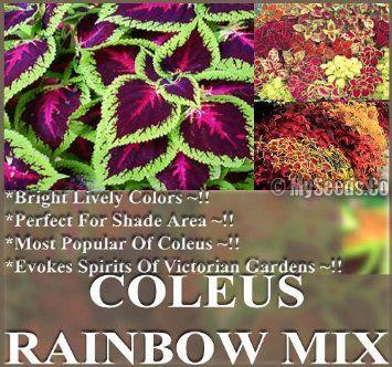 Amazon.com: Coleus Blumei Rainbow Mix Flower Seeds   Bright Lively Colors    Spirit