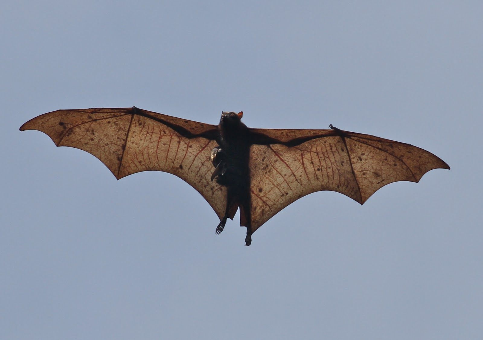 The largest species of bat in the world is: Giant Golden ...