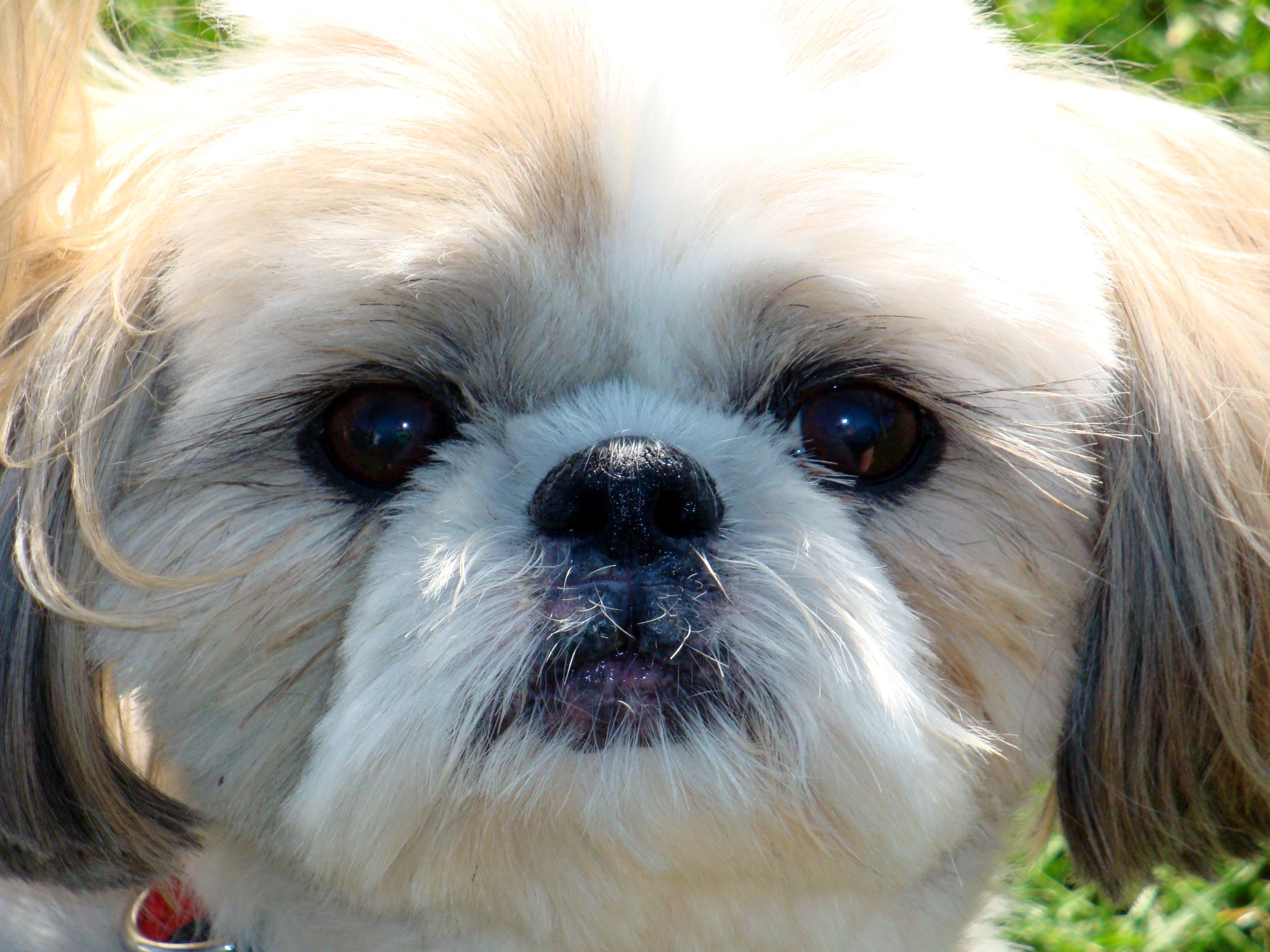 Images For Gt Chinese Imperial Dog Vs Shih Tzu Chinese