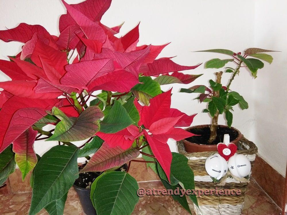 Potare Stella Di Natale.Stella Di Natale Come Curarla E Conservarla Per Farla