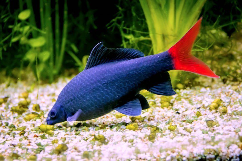 How To Keep A Red Tail Black Shark Happy In Your Tank Https Www Petful Com Other Pets Red Ta Freshwater Aquarium Sharks Aquarium Sharks Fresh Water Fish Tank