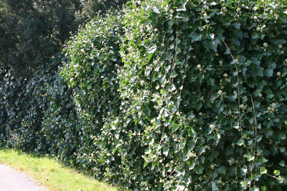 Strauch-Efeu 'Arborescens'