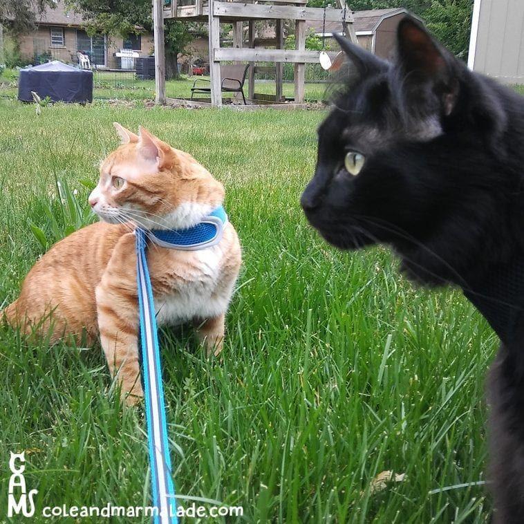 5 Tips For Leash Training Your Cat Leash Training Cats Indoor Cat