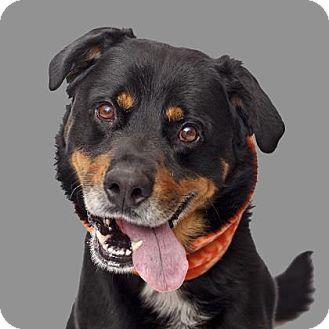 Mission Hills Ca Rottweiler Bernese Mountain Dog Mix Meet