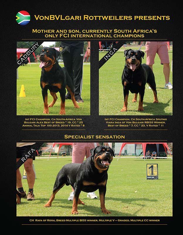 Von Bvlgari Rottweilers South Africa Rottweiler Africa Breeds