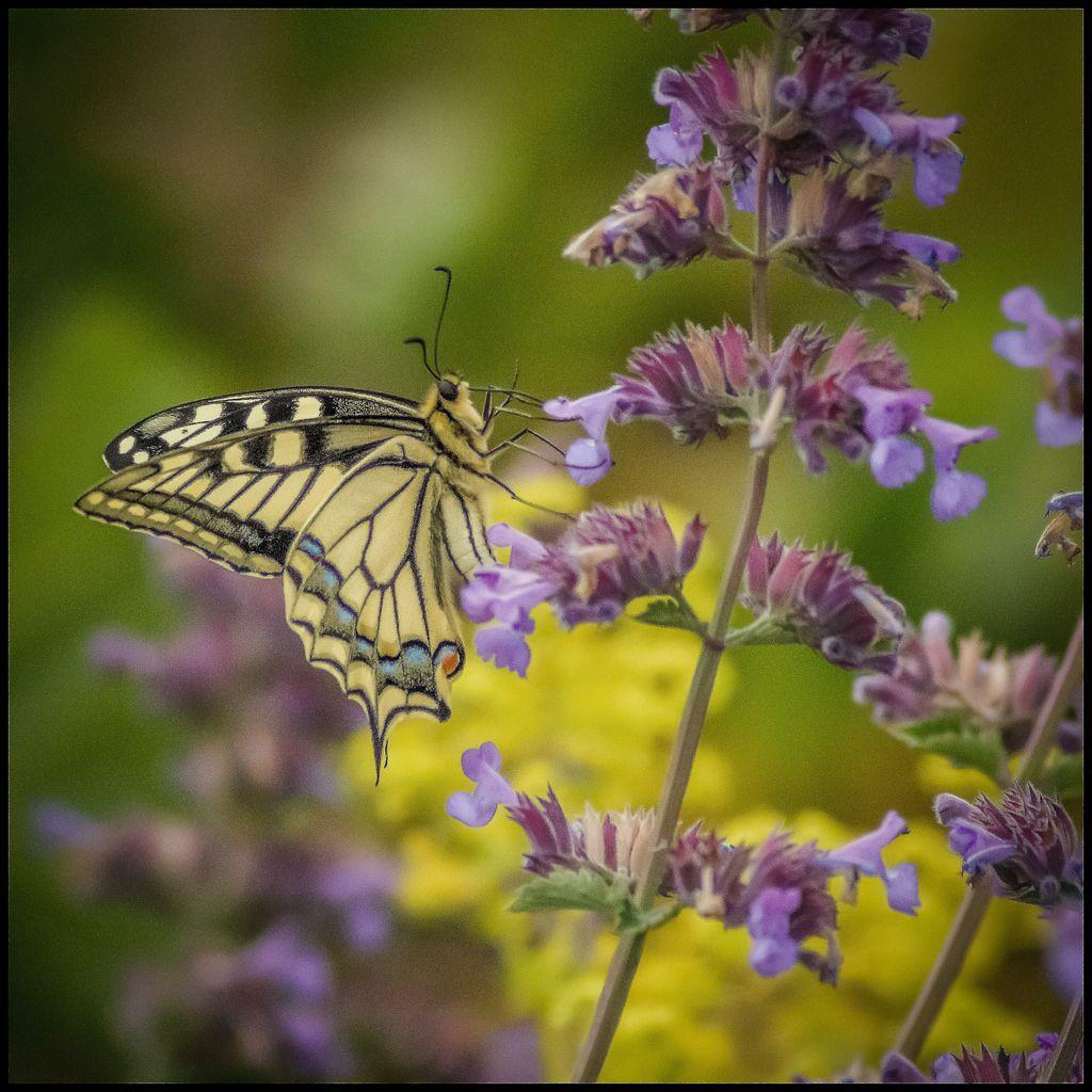 Papilio machaon (Schwalbenschwanz) by Der Zeit die Augenblicke stehlen