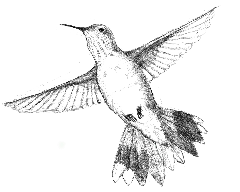 hummingbird drawing - Google Search | Animalia | Pinterest ...