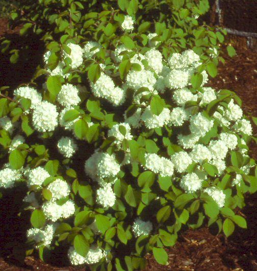 Viburnum Newport Dwarf For Front Of House Curb Appeal