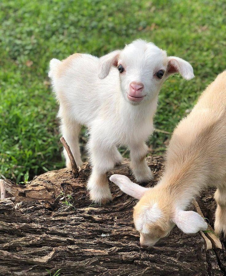 Die süßesten Tiere von Instagram Instagram auf Instagram Triff Saturn Eine süße Ziegenbaby nice Die süßesten Tiere von Instagram Instagra...