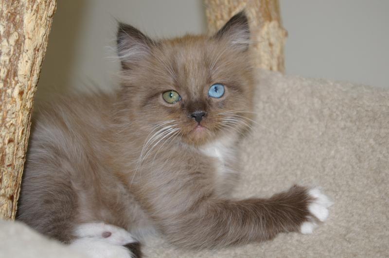 Gorgeous RagaMuffin kitten