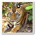 Bengal (Indian) Tiger