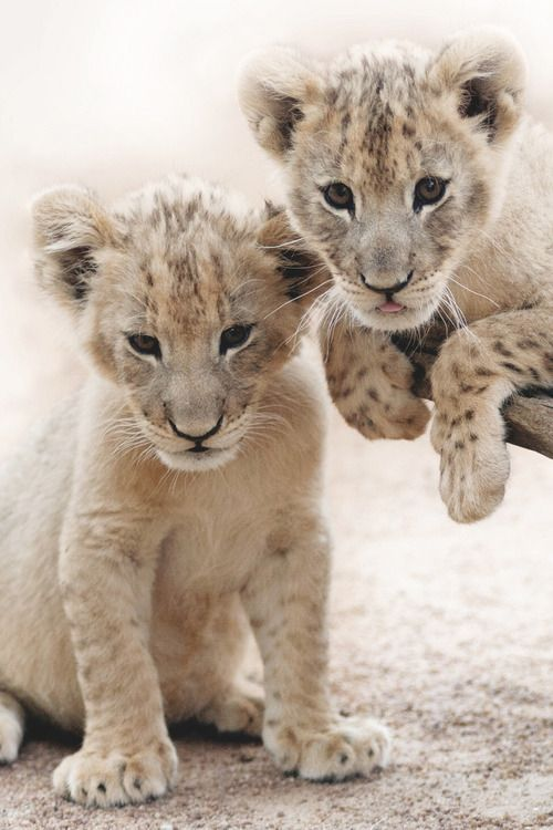 Life is Beautiful and Love Waters every Heart — janetmillslove:   Lion Cubs moment love