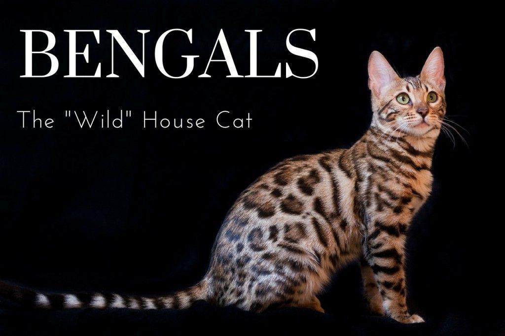 The Joys And Hazards Of Living With A Pet Bengal Cat Bengal Cat Cats Hybrid Cat