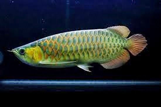 Arowana Green Dragon Fish Aquarium Fish Freshwater Fish