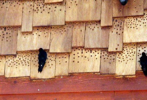 ドングリキツツキ07 Woodpecker Diy Pest Control Diy Money