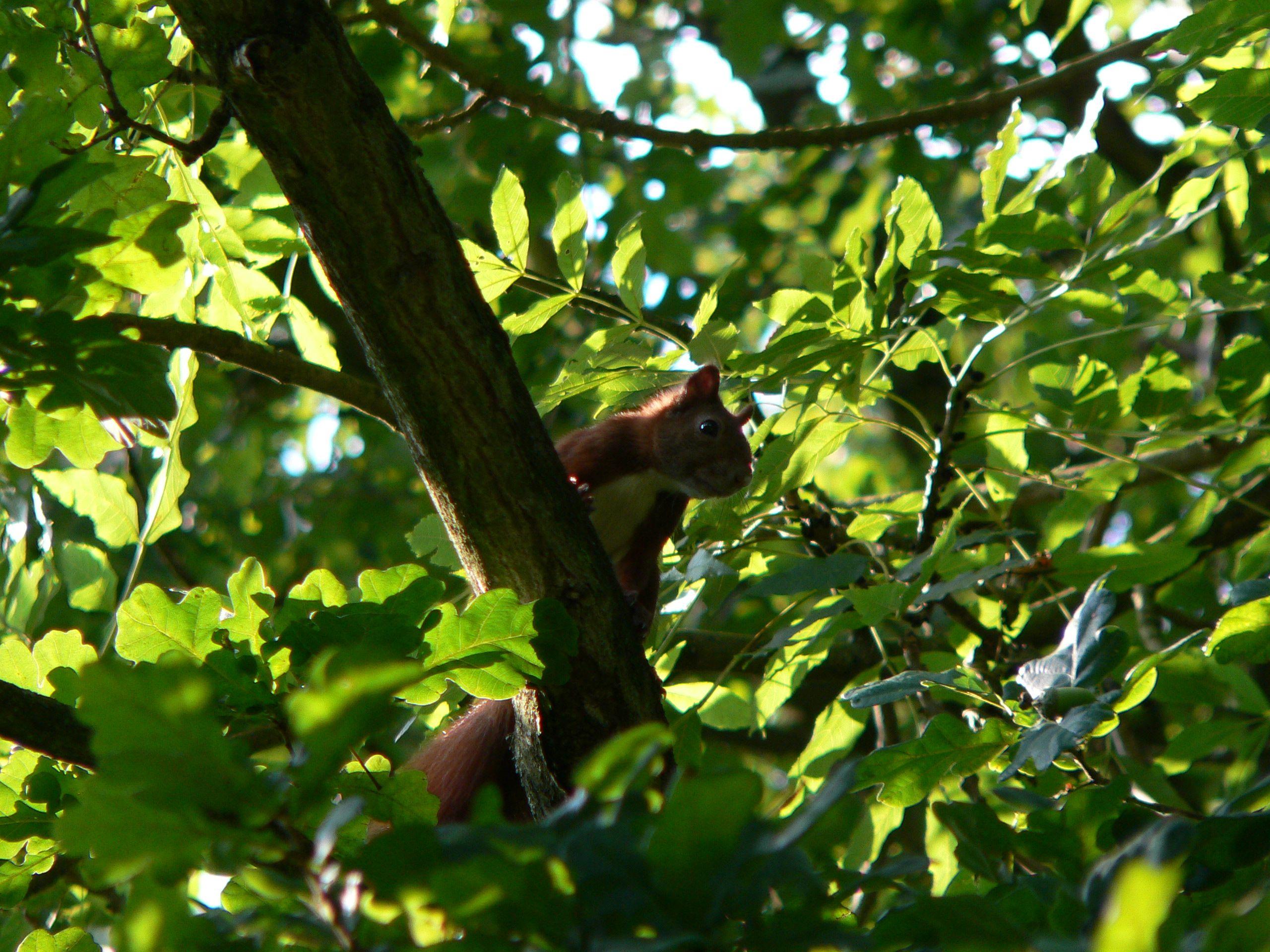 ein einzelnes eichhörnchen auf einem baum  tiere