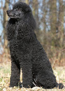Very Nice Poodle Standard Poodles Are Highly Intelligent