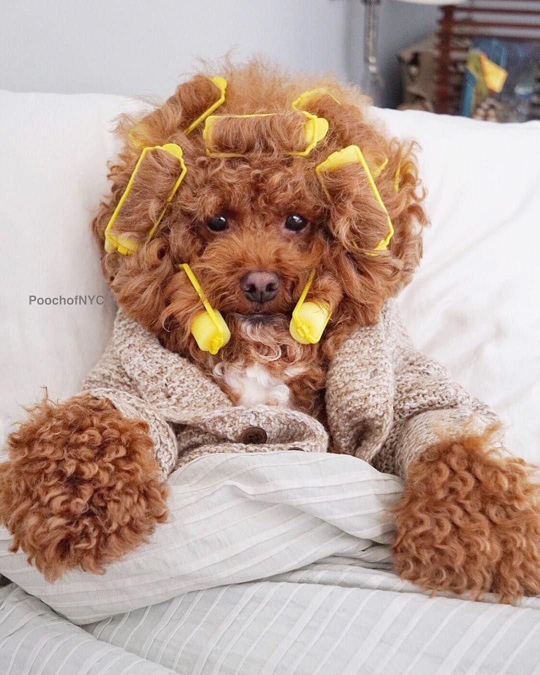 Easiest Dog Breed To House Train Poodle Housetrain Dogbreed