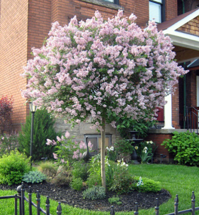 Miss Kim Lilac Tree Small Front Yard Landscaping Front Yard Landscaping Design Front Yard Garden
