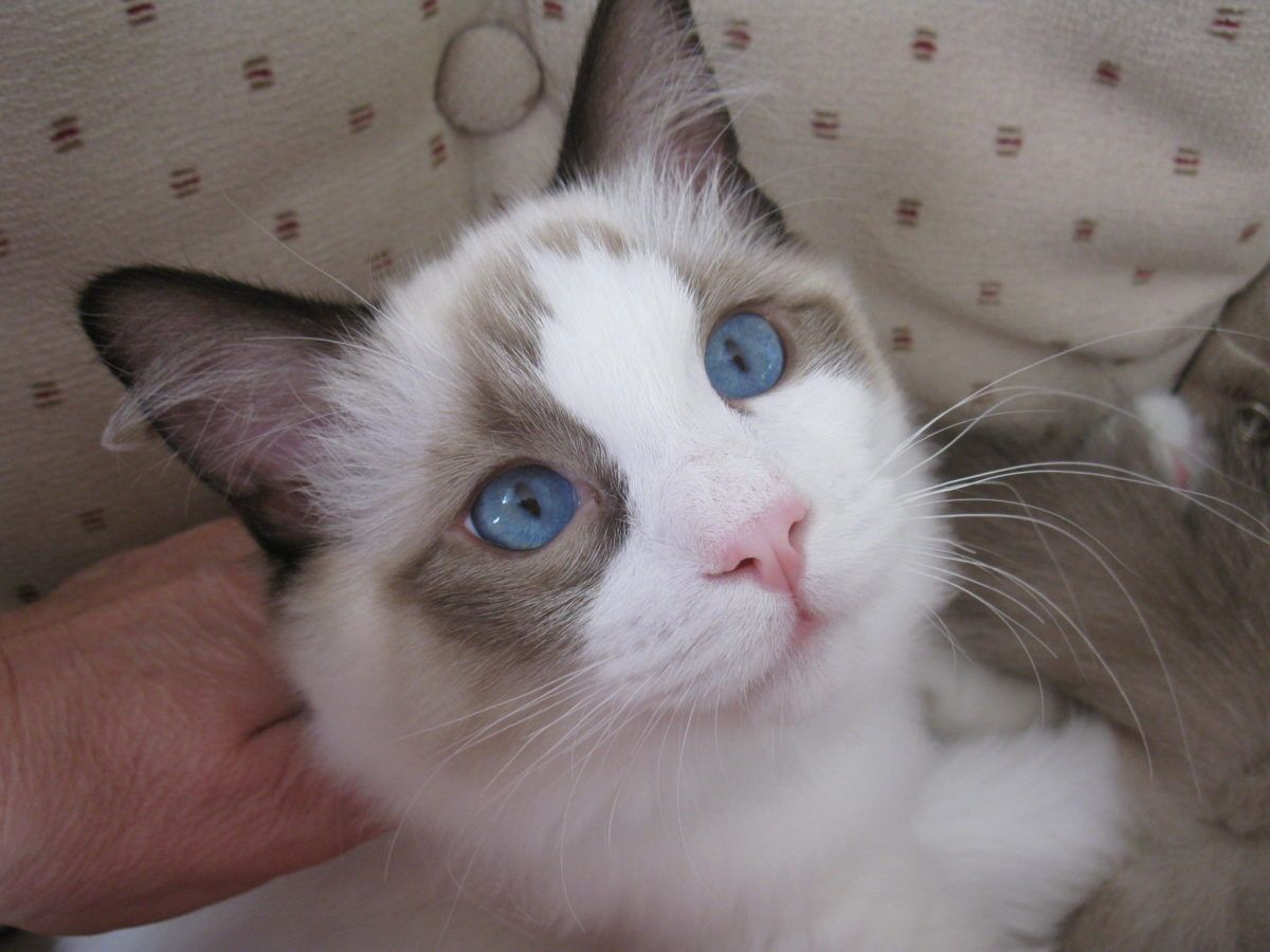 Kittens For Sale In Maryland Craigslist