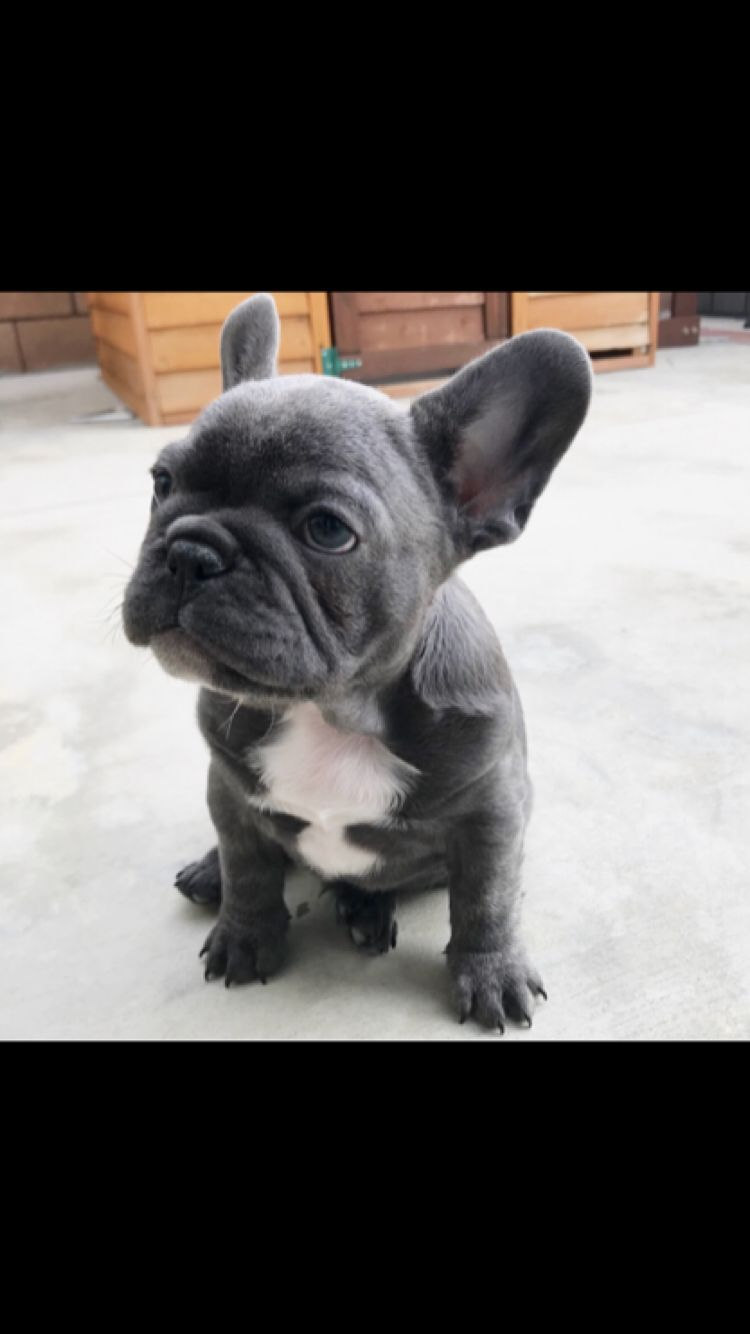 French Bulldog Mrdukethefrenchie Buldog French Bulldog Bulldog Bulldog Puppies