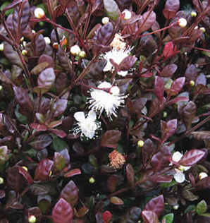 Deep Reddish Purple Leaves With Small Myrtle Like White