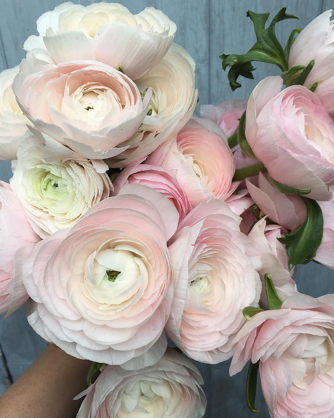 Steph Turpin On Instagram My Present To Myself Yesterday If You Can T Buy Yourself A Bunch Of The Prettiest Ranunculus On Flower Lover Plants In Jars Bloom