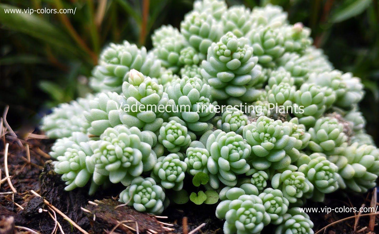 Sedum Dasyphyllum Rozchodnik Brodawkowaty Corsican Stonecrop