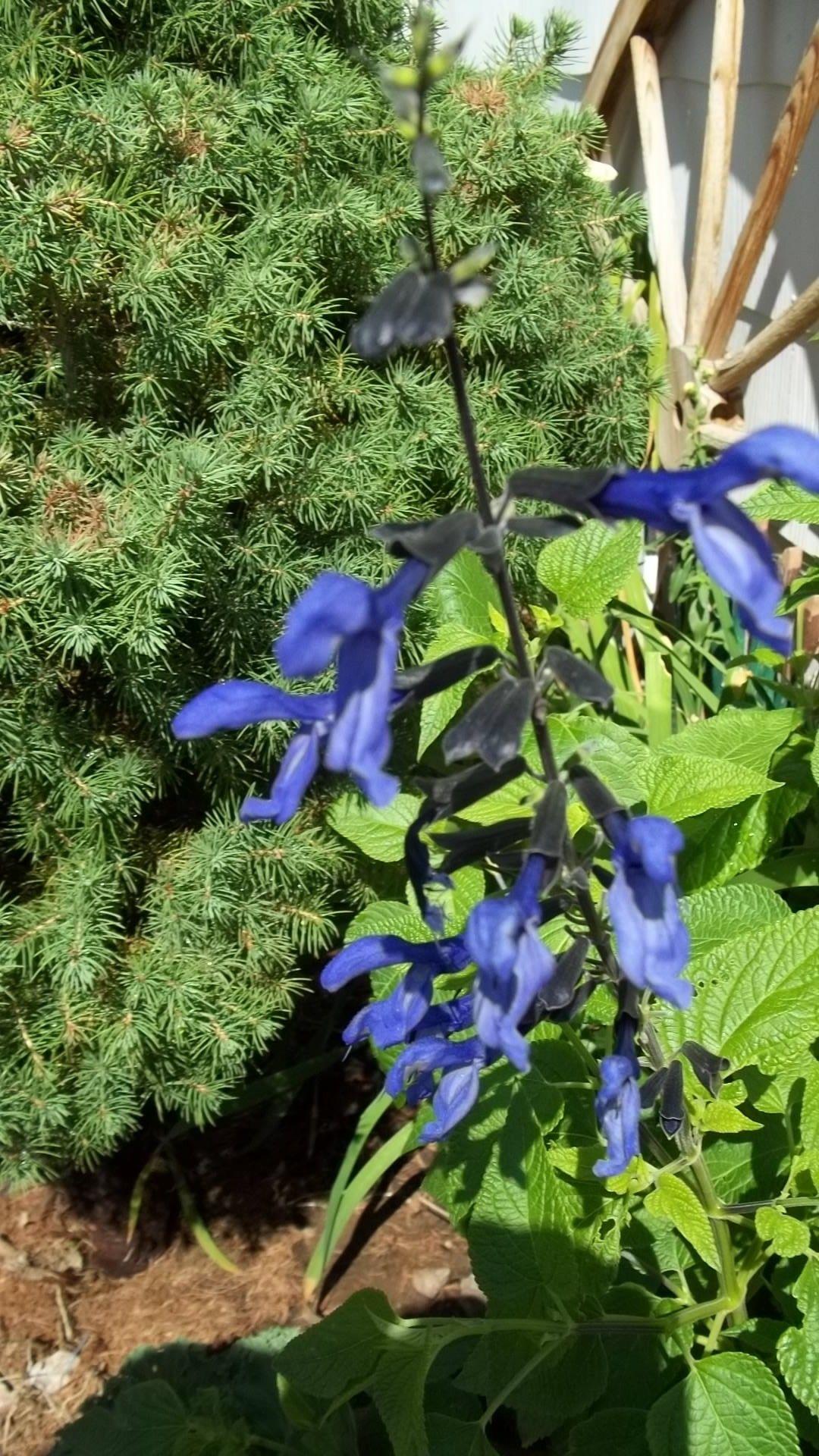 Midnight Blue Salvia Salvia Hibiscus Garden