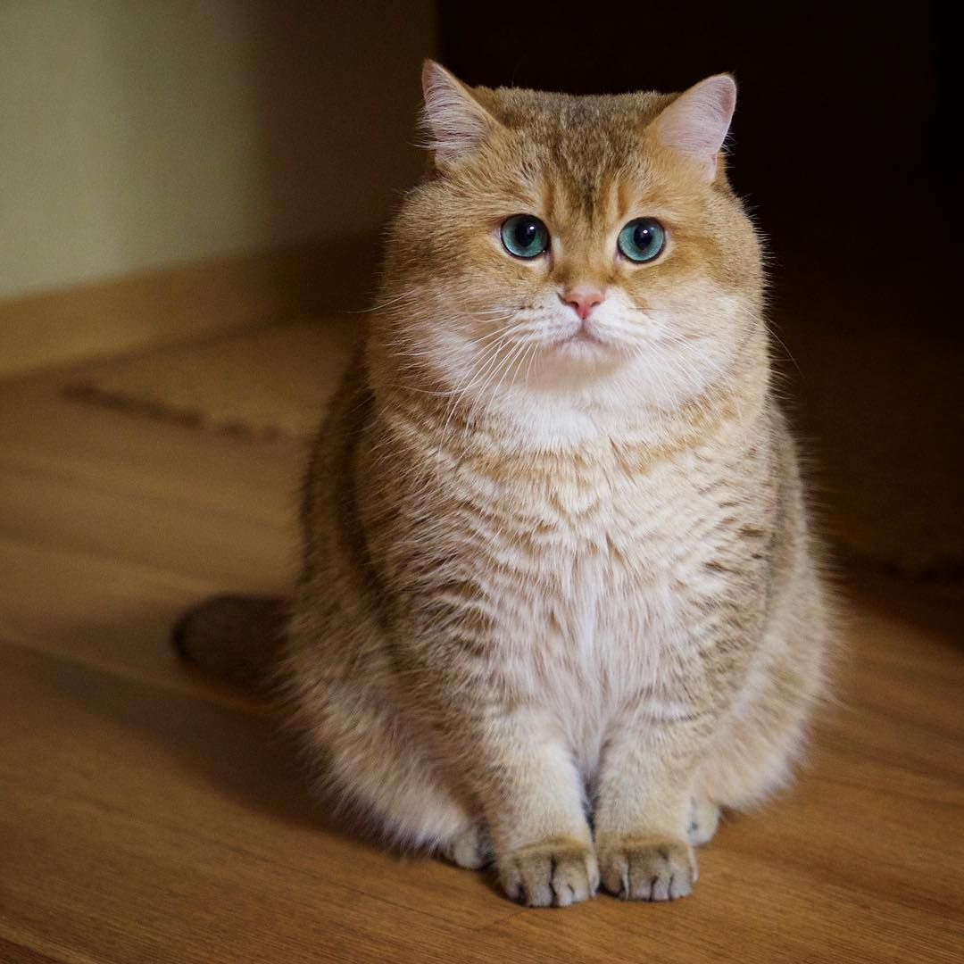81 3k Likes 612 Comments Hosico Cat Hosico Cat On Instagram What We 39 Ll Do Cute Cats Kittens Cutest Cats