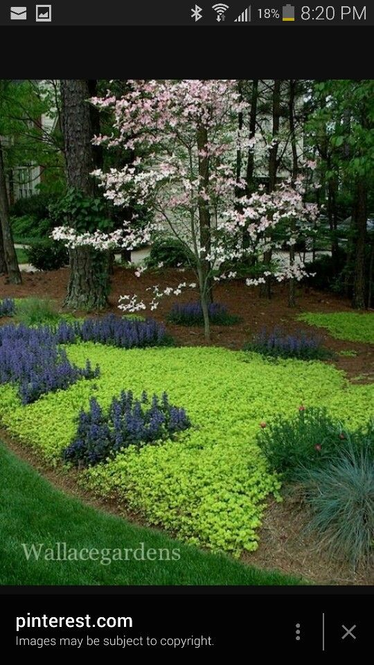 Creeping Jenny For Ground Cover On Hill Slope Around Firepit Patio Pool Etc Woodland Garden Ground Cover Plants Plants