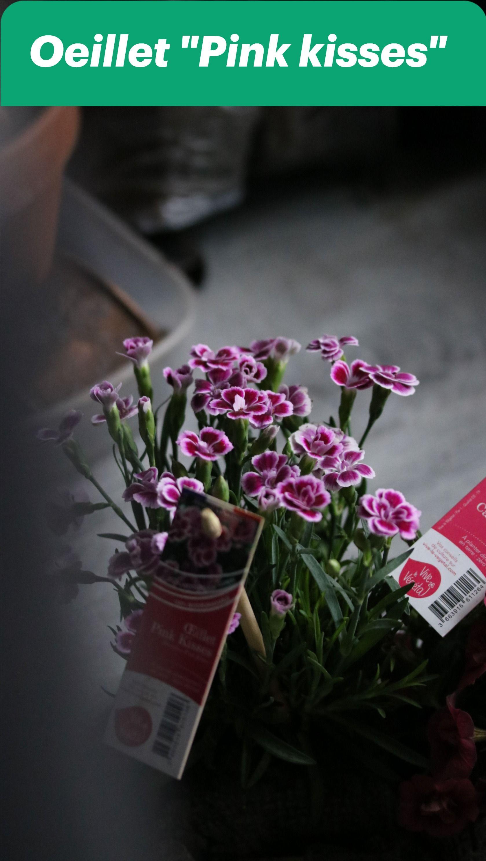 Oeillet Dianthus Pink Kisses En 2020 Feuilles Grises Oeillet Feuille Persistante
