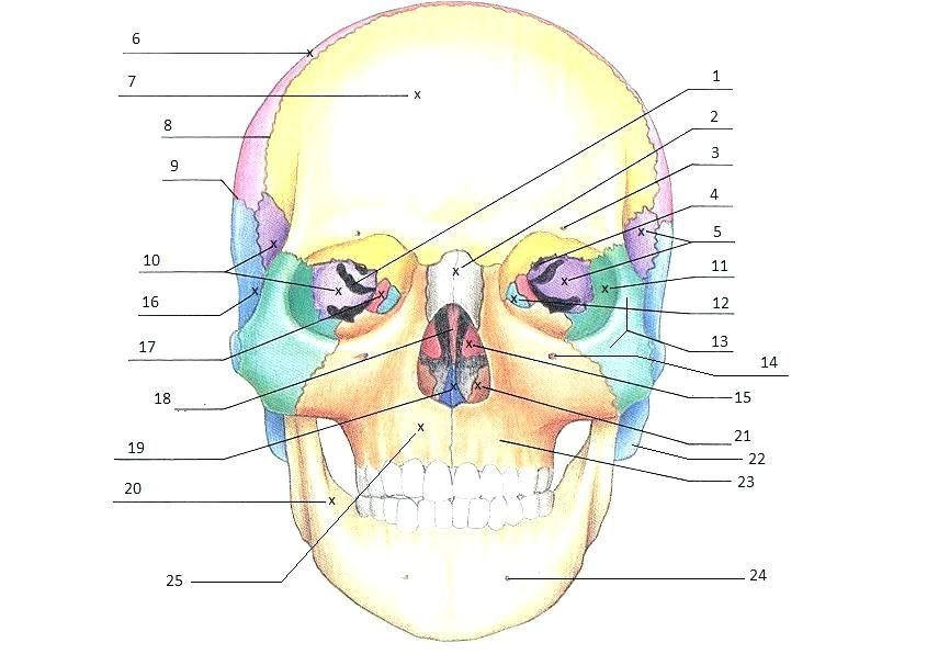 image regarding Printable Anatomy Labeling Worksheets called skull labeling worksheet worksheets free of charge printable anatomy