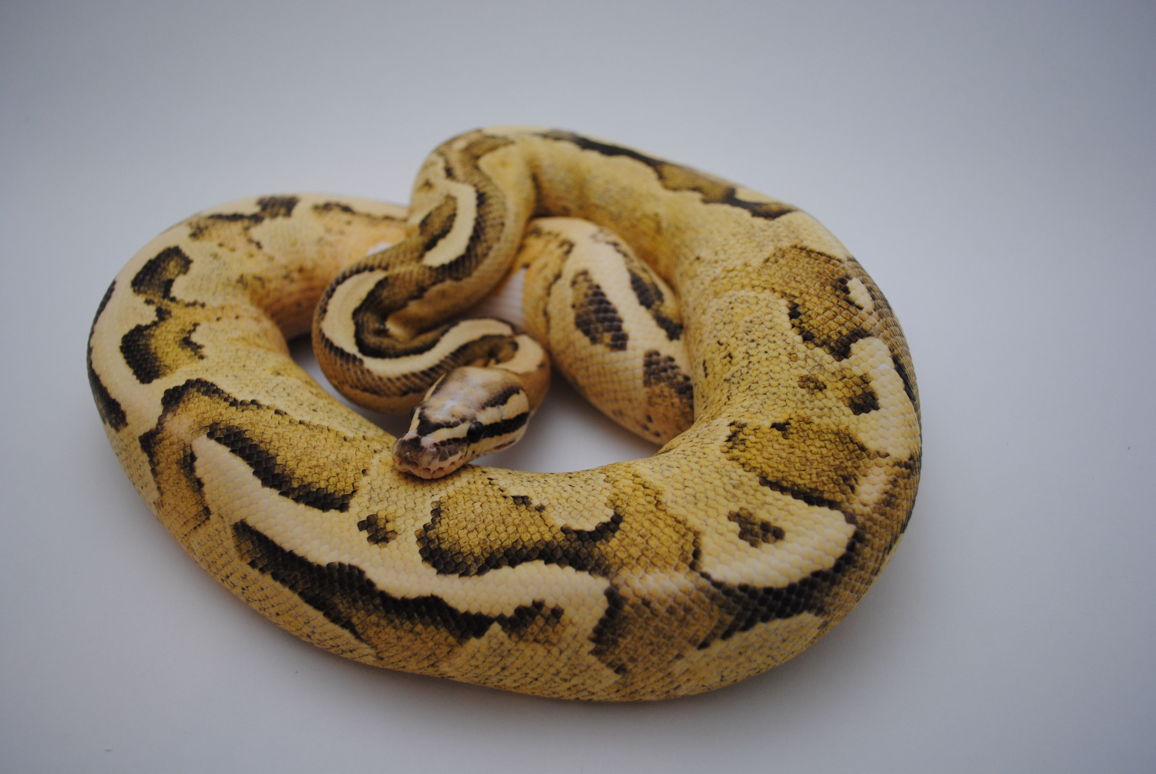 Vanilla Cream Ball Python | Cold Blooded - Snakes, Ball Python ...