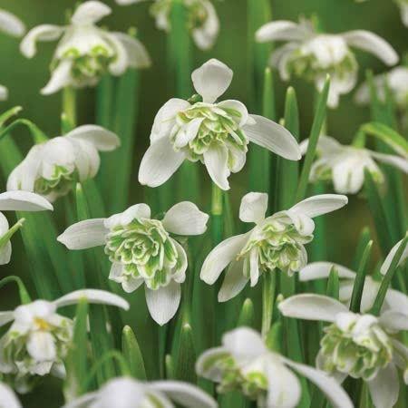 Galanthus Nivalis Flore Pleno Snowdrops Bulbs Spring Flowering Bulbs Planting Bulbs Spring Garden