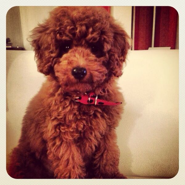 Mascota Caniche Red Poodles Toy Poodle Puppies