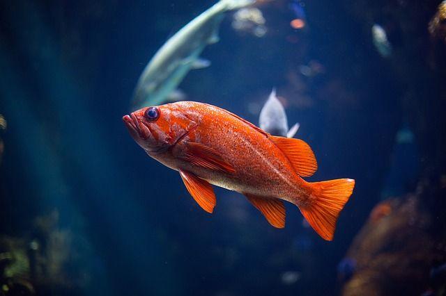 Free Image On Pixabay Orange Fish Aquatic Animal Freshwater