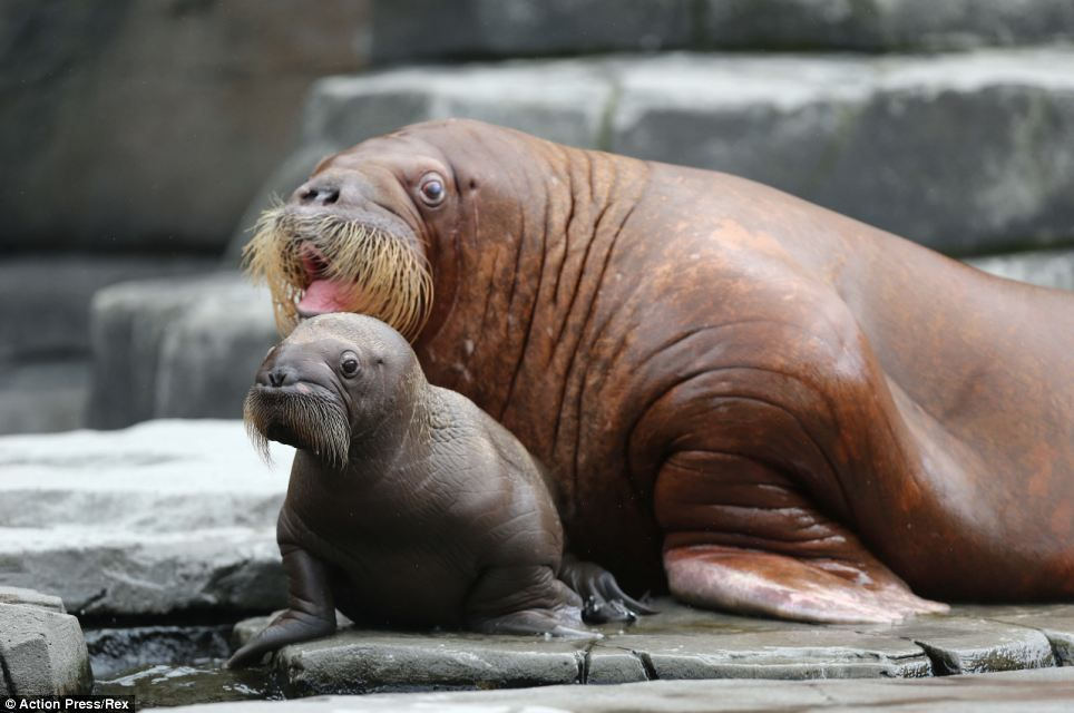 Proud Walrus Mother Shows Off Her Son German Zoo Baby Walrus