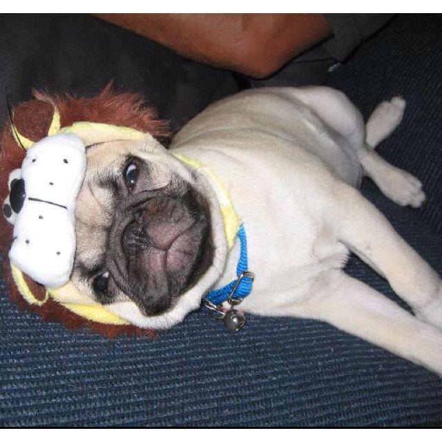 The Lion Pug