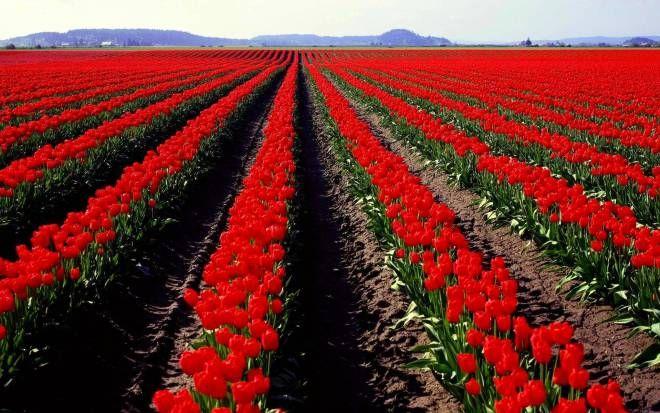 صور طبيعة خلابة Field Wallpaper Tulips Garden Colorful Landscape
