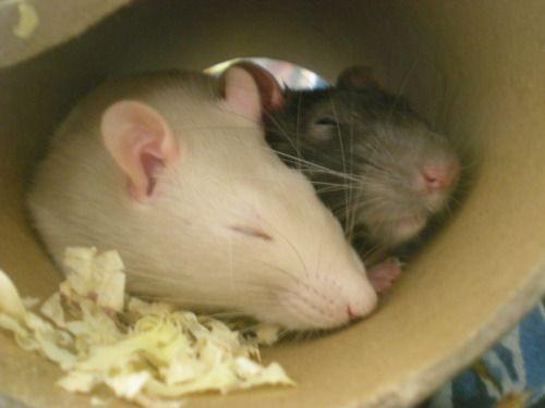 Rats 3 Cardboard Tubes Cute Critters Rats Pet Rats Pet Rodents