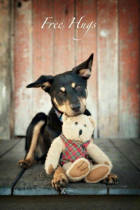 Pure Bred Kelpie Dogs Puppies Gumtree Australia Maitland Area Lochinvar 1255945568