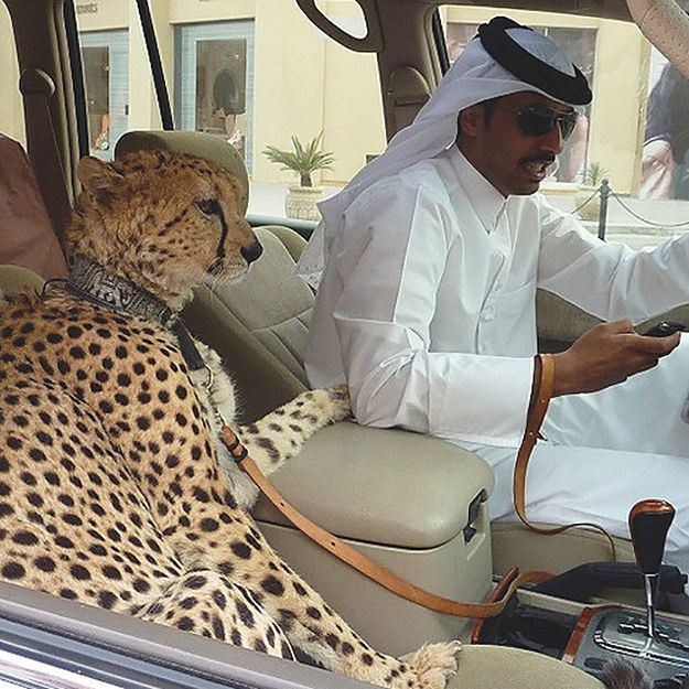 Guys texting and driving with their pets. | 35 Things You See Every Day In Dubai